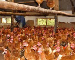 Rwanda bans Uganda's poultry products